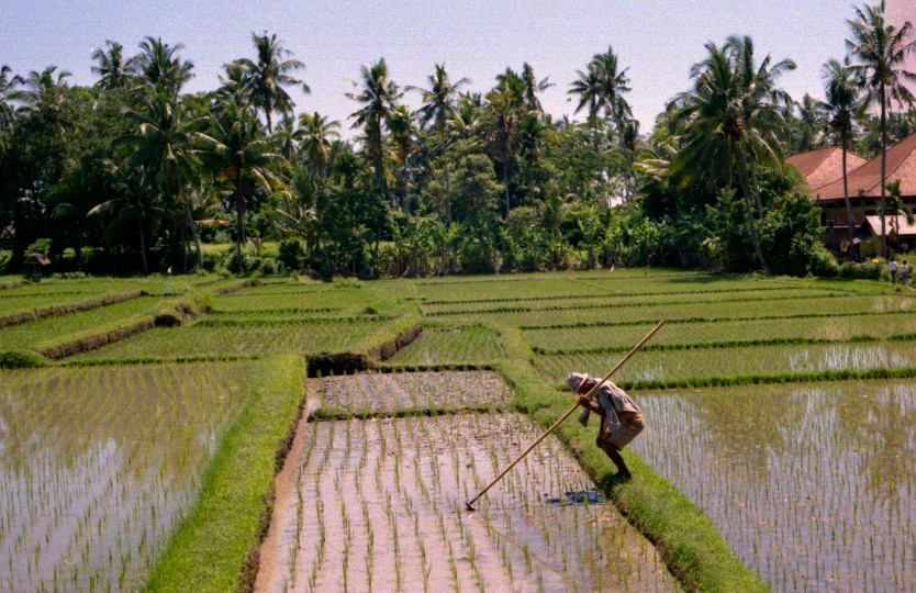 Rice Paddy in Bali (Dec 1987)